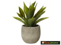 African Agave in Tub Pot
