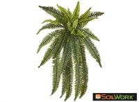 Boston Wall Fern