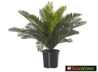 Cycas Bush Mini in Garden Pot