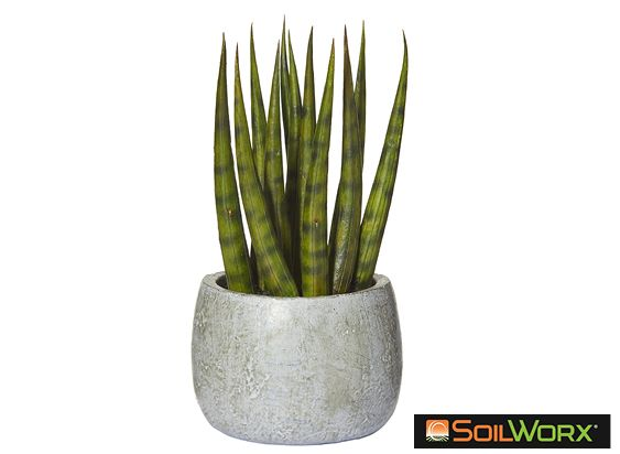 Snake Tail Plant in Cement Pot