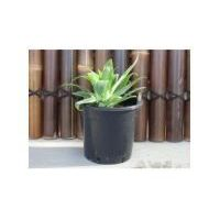 Agave Attenuata 'Fox Tail'
