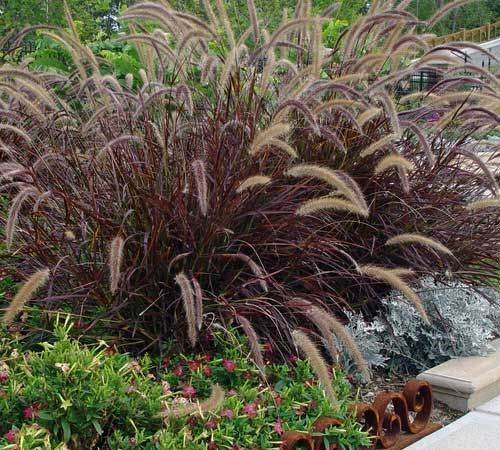 Soilworx online shop for Blue fountain grass